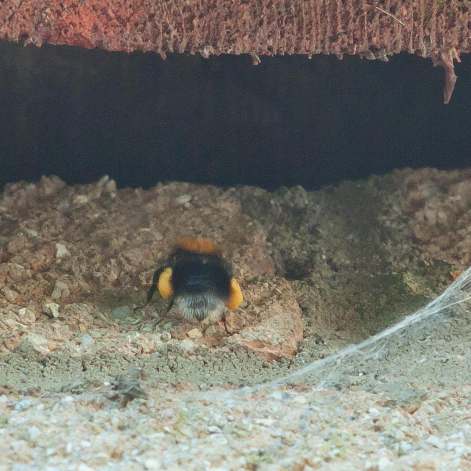 Tree bumble bees in the extension roof
