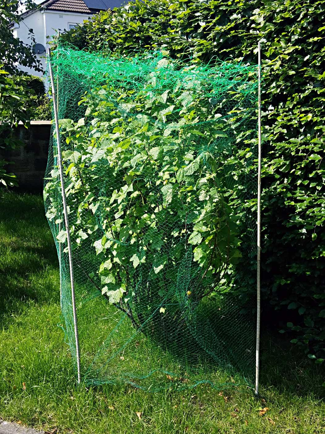 blackcurrant bush with netting