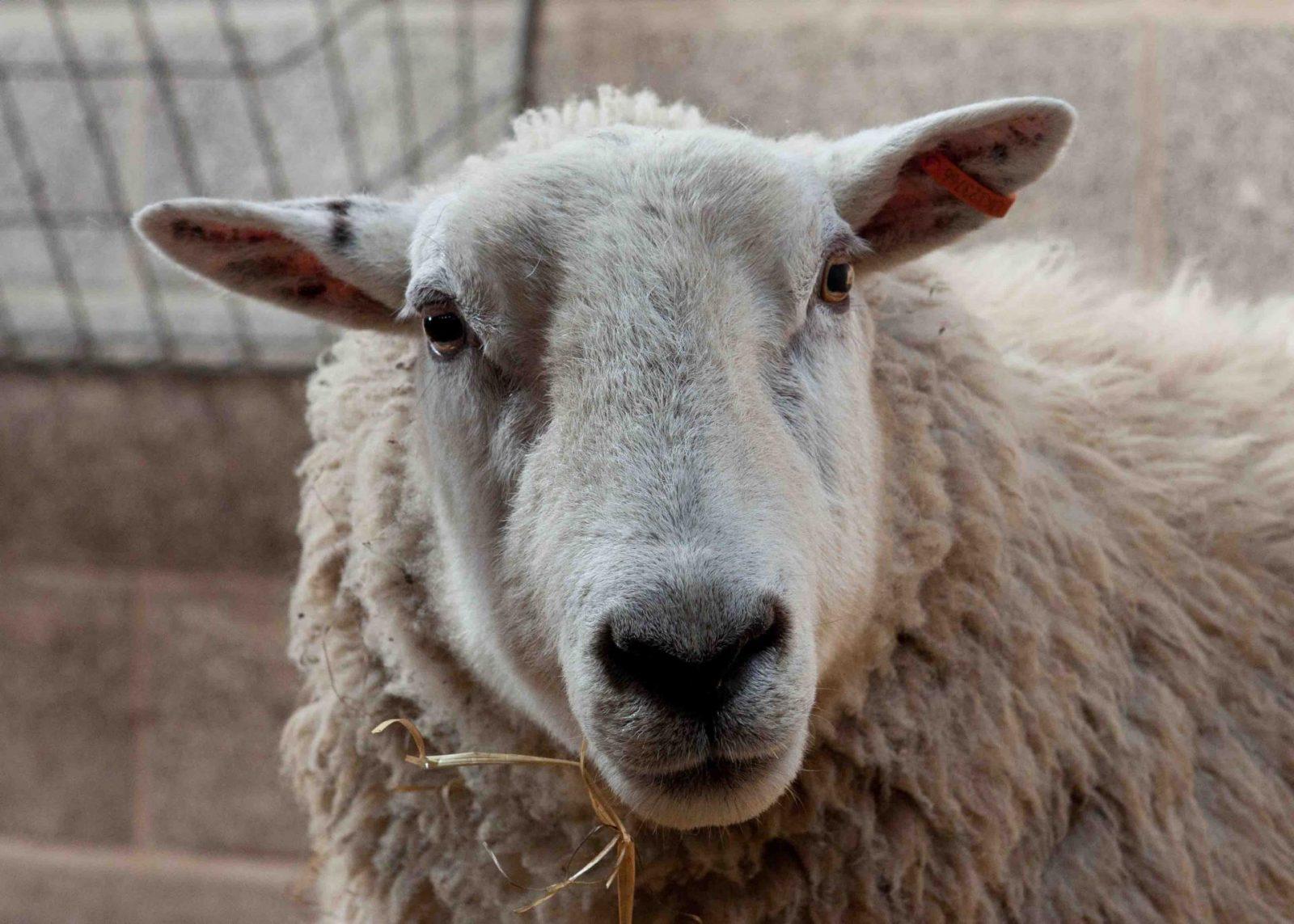 Sheep on Falcondale Life blog, the nativity
