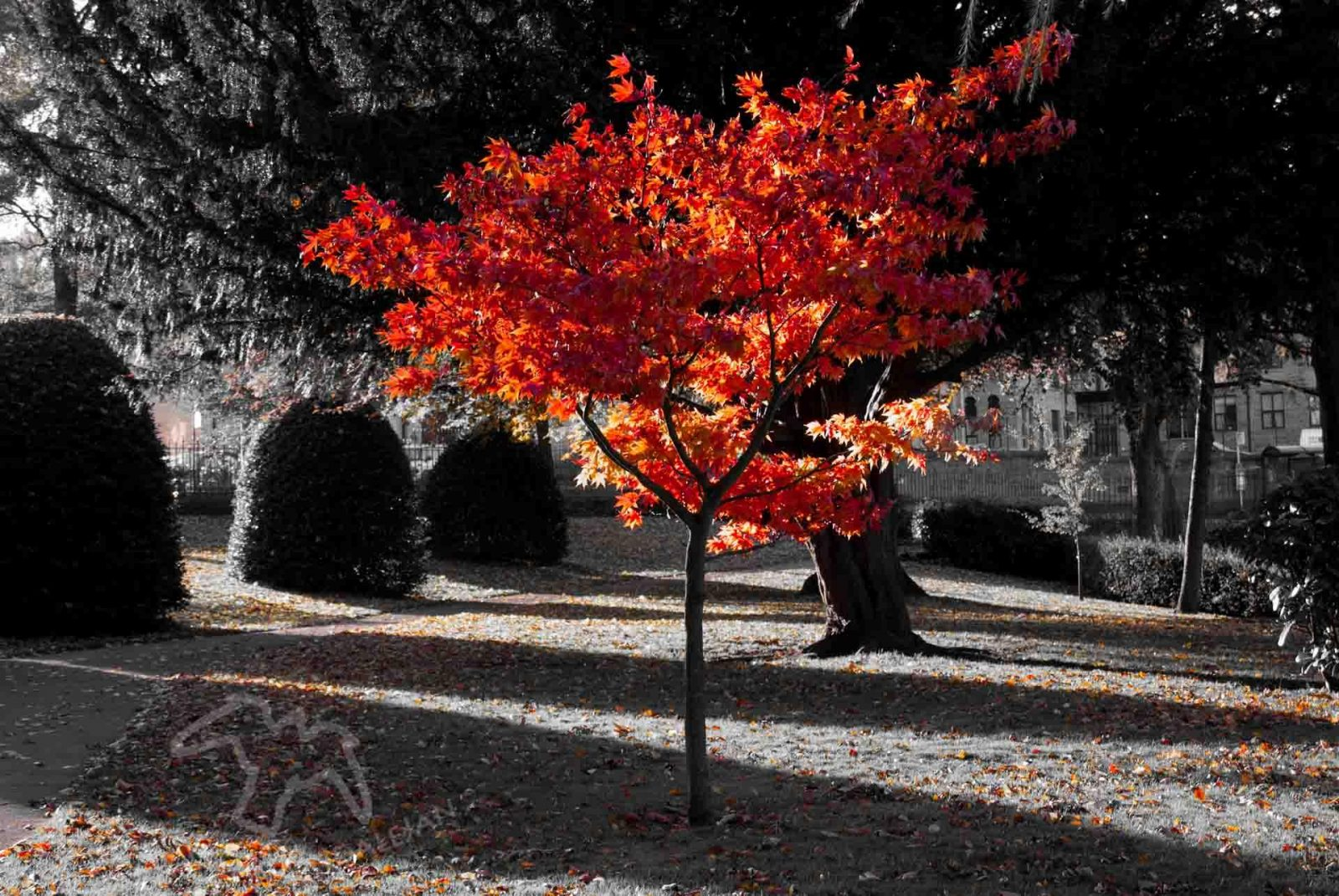Breaking the Rule of Thirds in Photography, tips on Falcondale Life blog. Maple tree in autumn