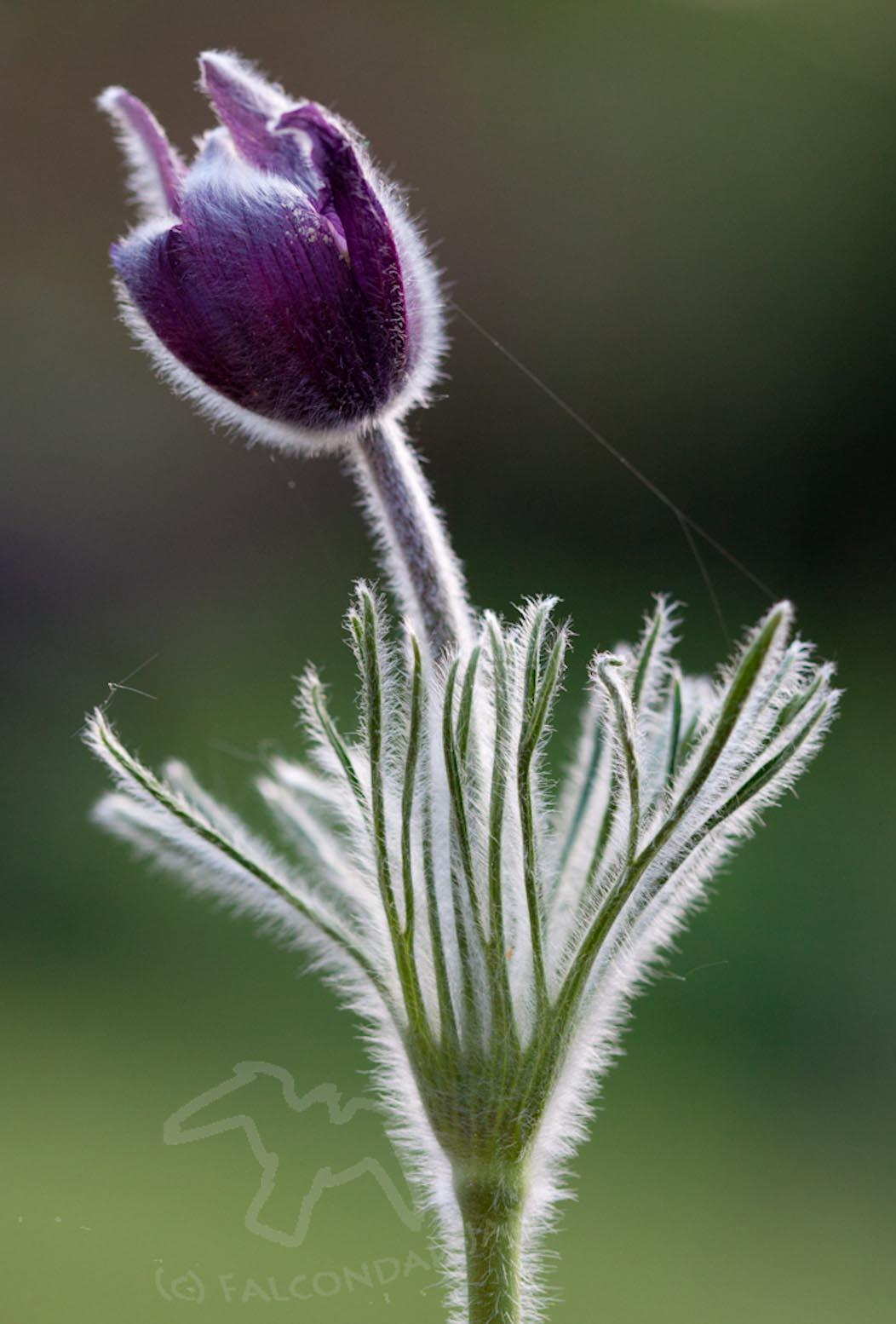 Judging a Photograph #3 When Perfect isn't Good Enough. Pasque flower in a photo competition. Different experiences of judging.
