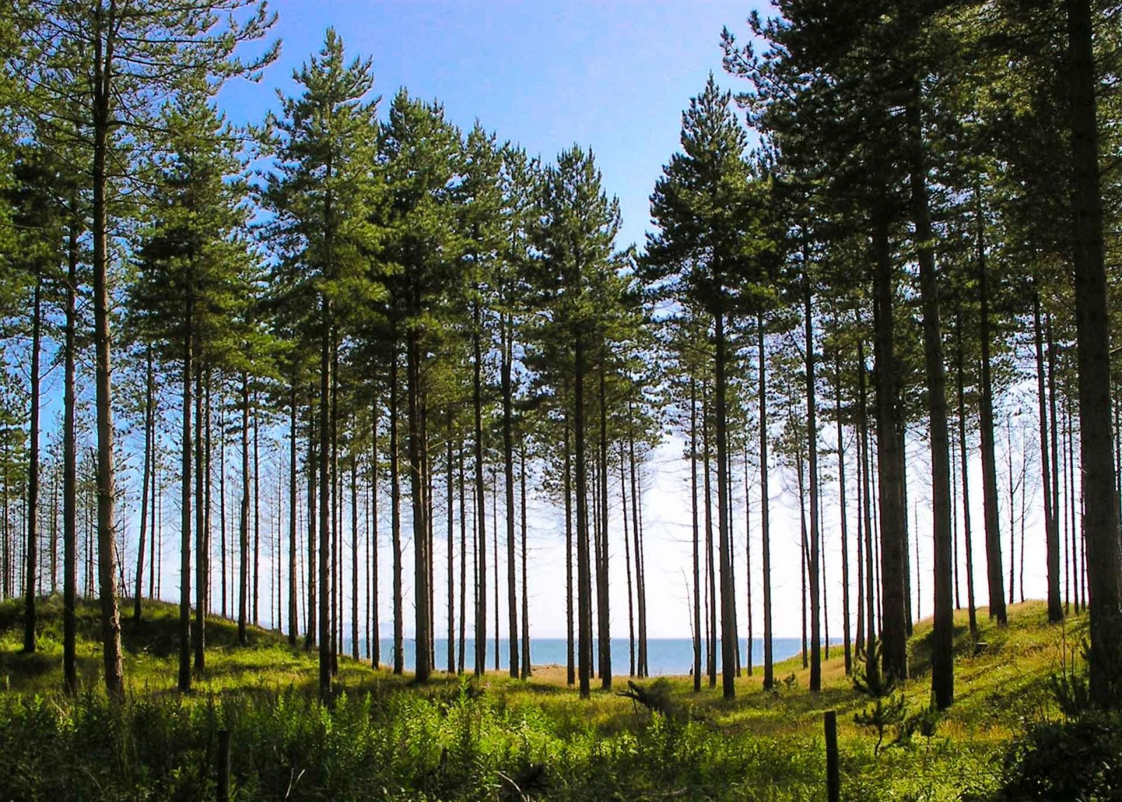 What's on my list for Thursday on Falcondale Life blog - pine trees by the ocean
