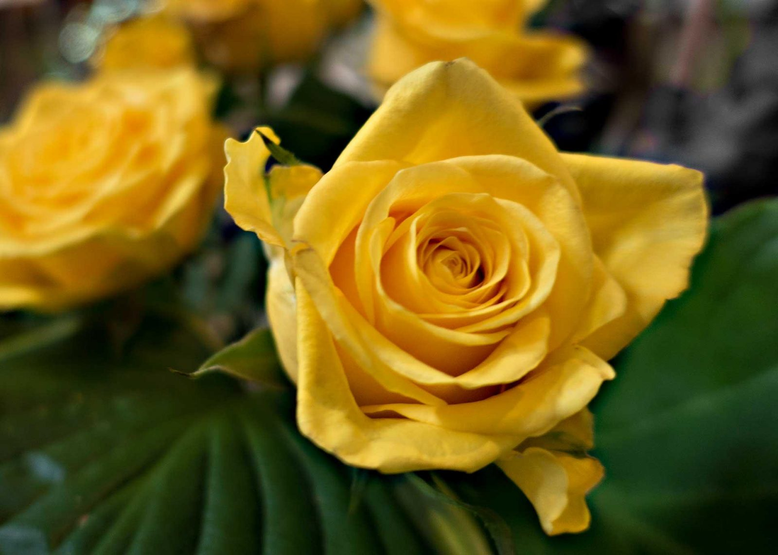 What's on my List for Thursday on Falcondale Life blog? yellow rose flower