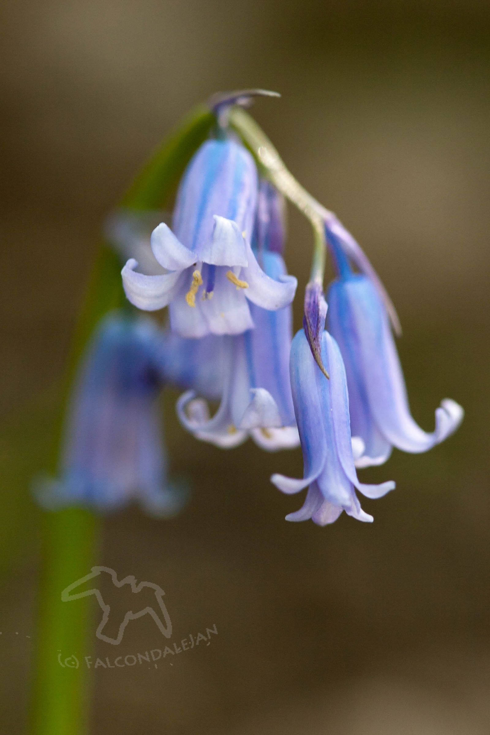 Three steps taking to better flower photos on Falcondale Life blog. This bluebell stands out on a dark background. Follow these simple tips for better photographs of flowers. How to get the depth of field and contrast right in an image.