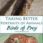 Take Better Portraits of Animals - Birds of Prey on Falcondale Life Blog. Practical tips and judging a photograph. How to find animals to photograph.