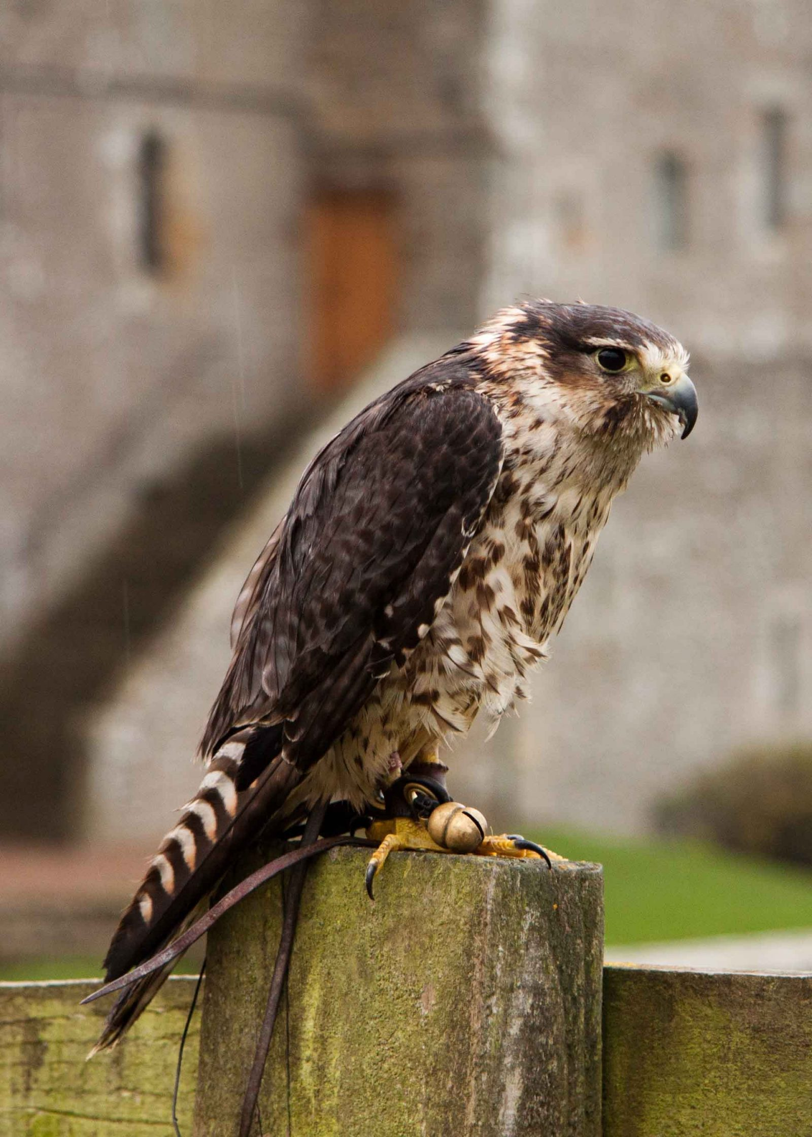 Take Better Portraits of Animals - Birds of Prey on Falcondale Life Blog. Practical tips and judging a photograph. How to find animals to photograph. Peregrine-merlin crossbreed.