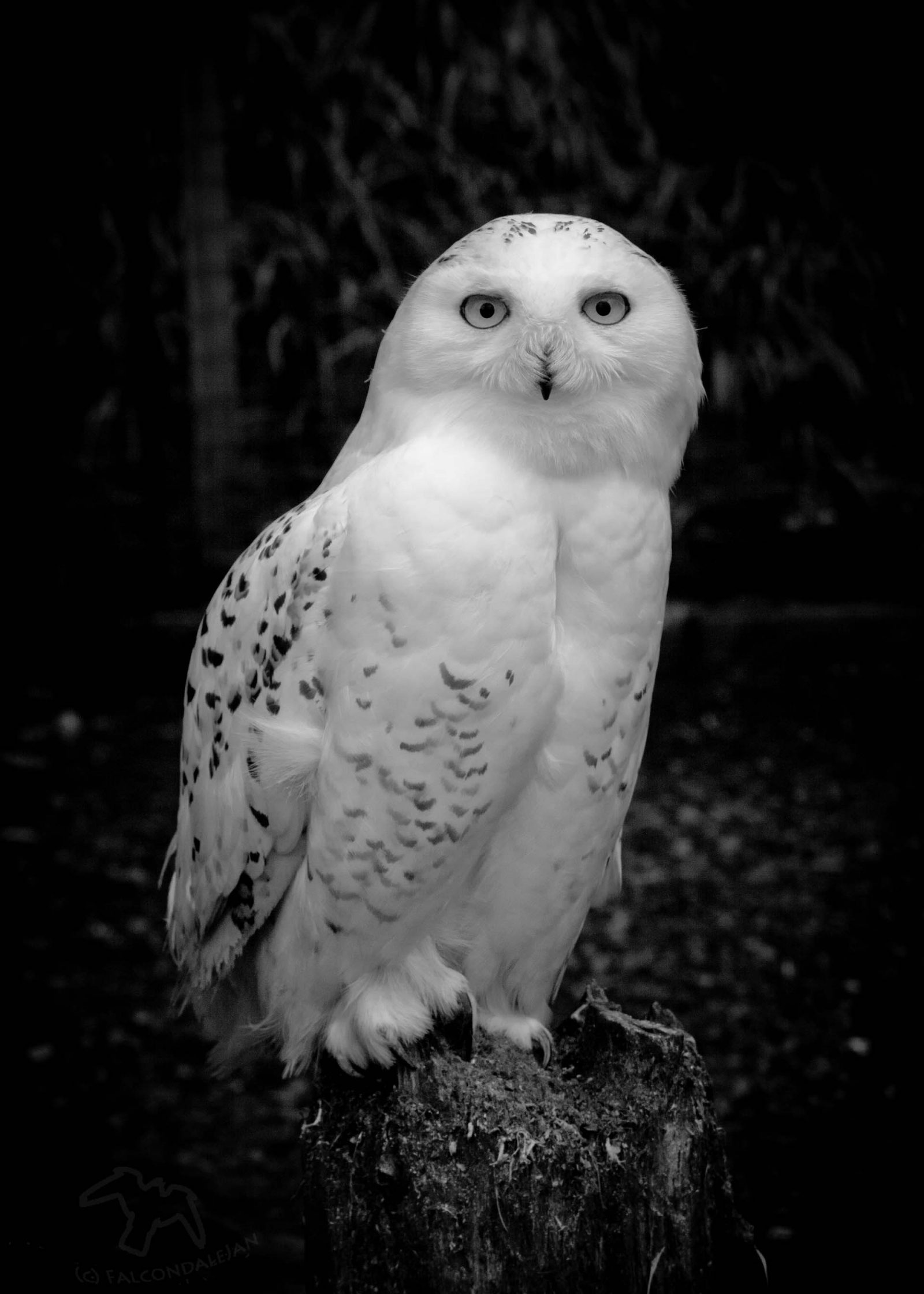 Take Better Portraits of Animals - Birds of Prey on Falcondale Life Blog. Practical tips and judging a photograph. How to find animals to photograph. Snowy owl. Is it Hedwig?