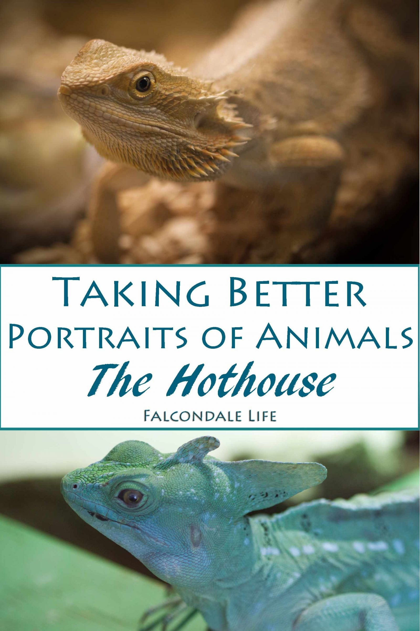 Taking Better Portraits of Animals on Falcondale Life blog. In the Hothouse or Tropical house make adjustments to the exposure of the camera for dark conditions and to avoid reflections in the glass. Try a monopod. Bearded dragon. Green Lizard.