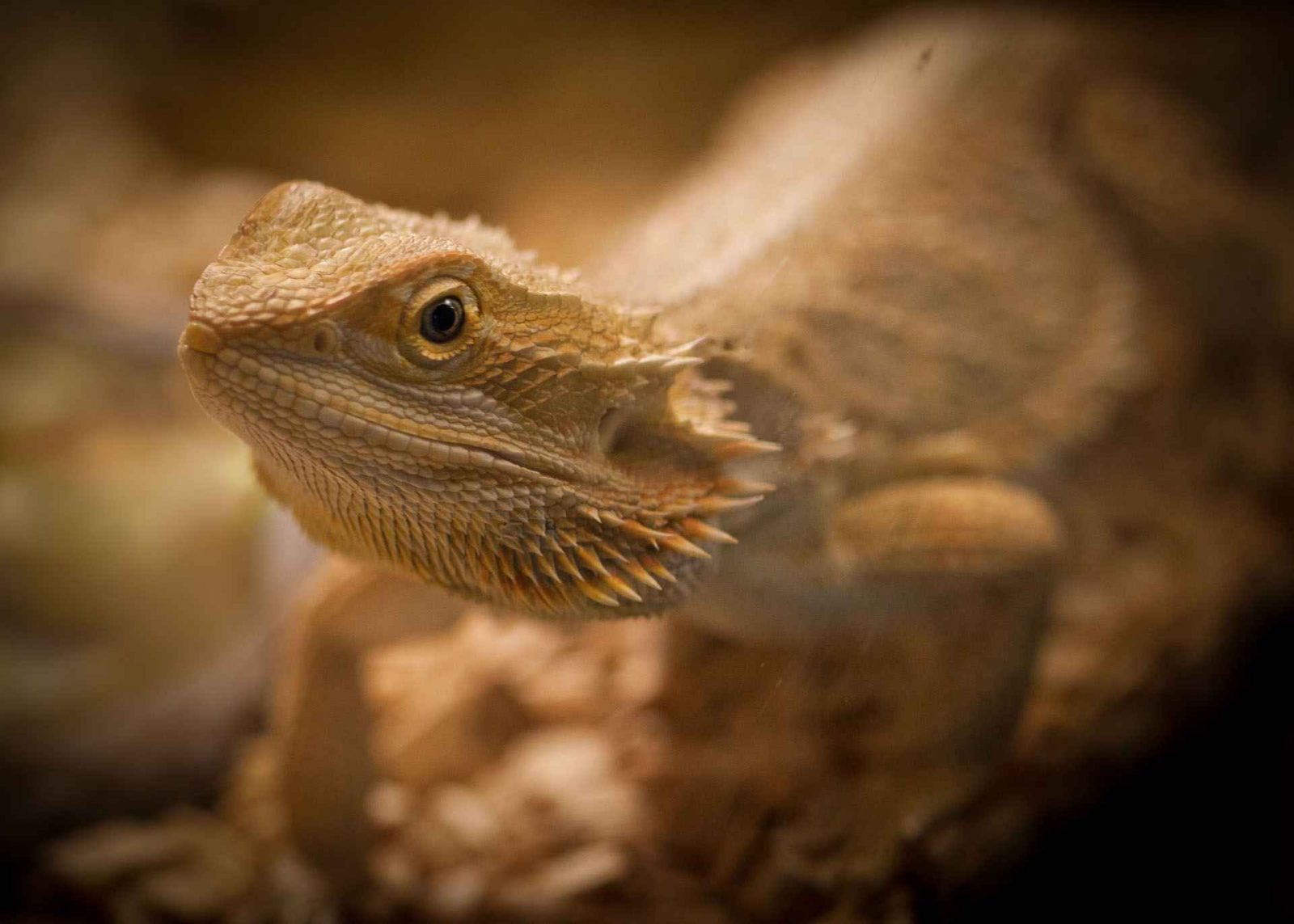 Portrait of a bearded dragon in artificial light. Let there be Light Photography Competition entry on Falcondale Life blog. Win with Urban Cottage Industries by showcasing one natural light image and one artificial light image. #Lettherebelight