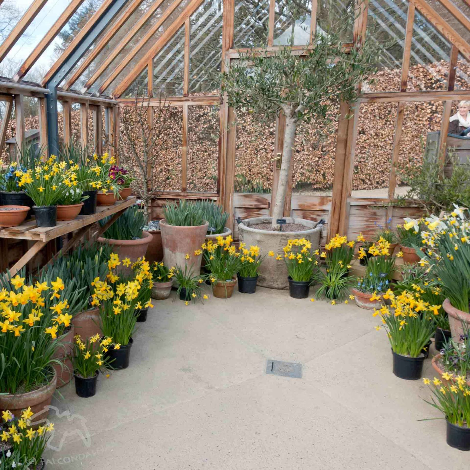Greenhouse made into a pleasant space with lots of daffodils. 5 ways to get your teenagers into the garden on Falcondale Life blog.