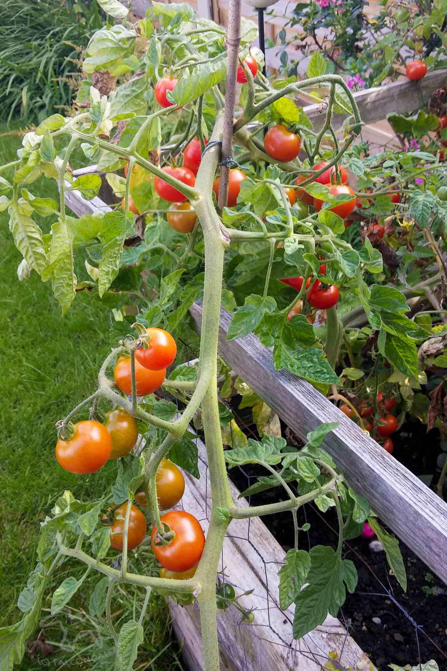 Tomatoes growing in a raised bed. Garden access for the whole family on Falcondale Life blog. Not everyone in the family can get around the garden easily. Improve garden access for little ones and those with mobility problems with these design tips and ideas, starting with bi-fold doors and maybe adding raised beds and well-planned paths.