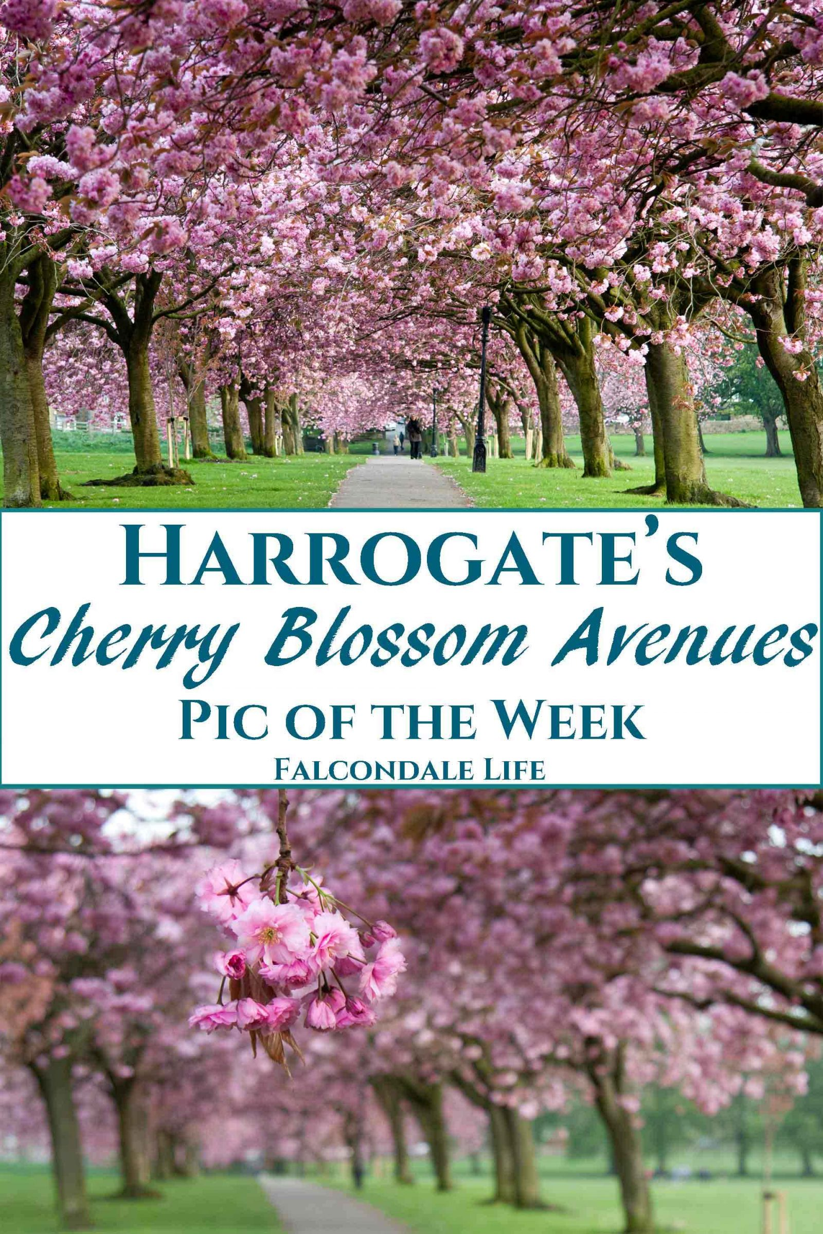 A popular North Yorkshire tourist attraction in the spring are Harrogate's cherry blossom avenues on the Stray. These stunning long avenues are a great place to take photos and enjoy a visit to this charming spa town. Photography tips, travel and parking information. Harrogate's Cherry Blossom Avenues on Falcondale Life blog. Image description: Pink cherry blossom trees.